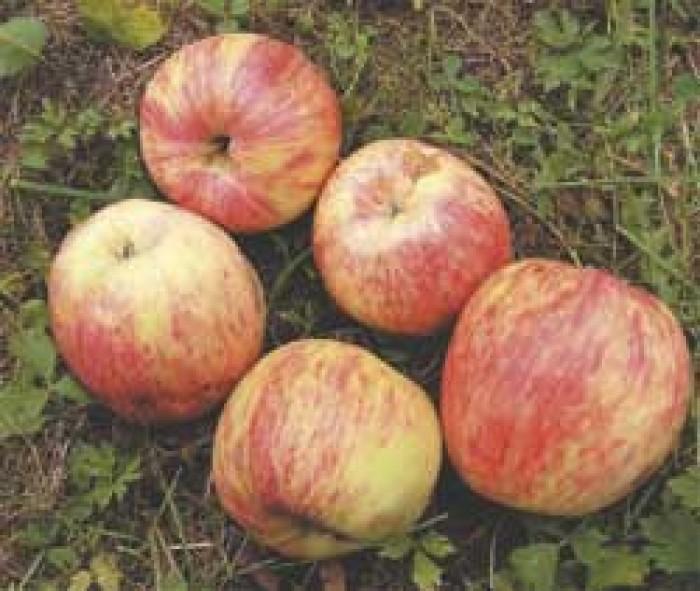 Jabłka Czerwone EKO od Adamczyka
