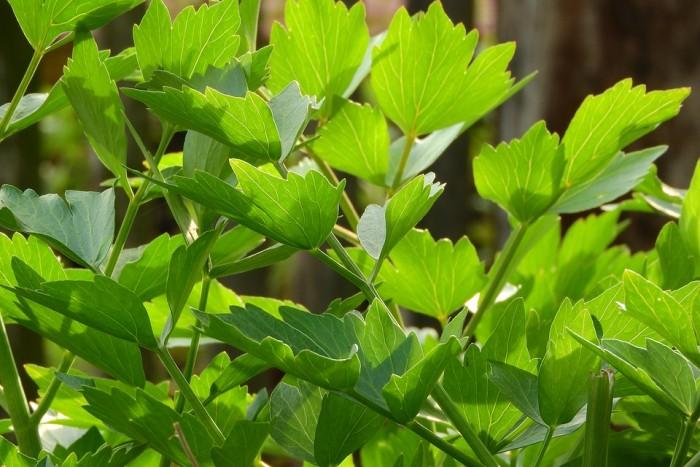 Lubczyk liście  od p. Iskry