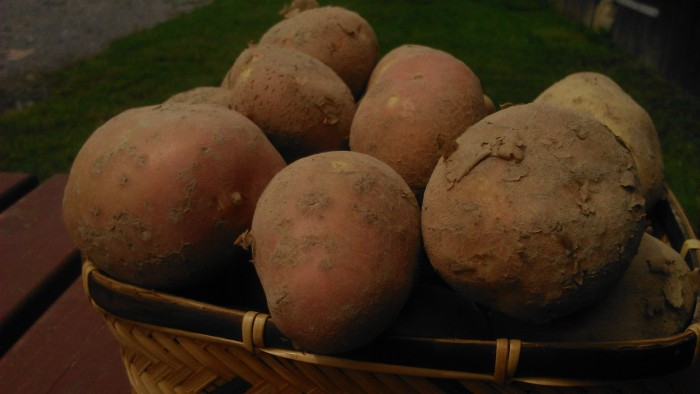 Ziemniaki EKO młode Michalina od Adamczyka