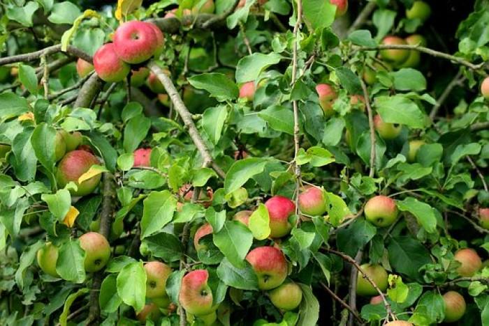 jabłko jabłka Bankroft stara odmiana  od Kłósek