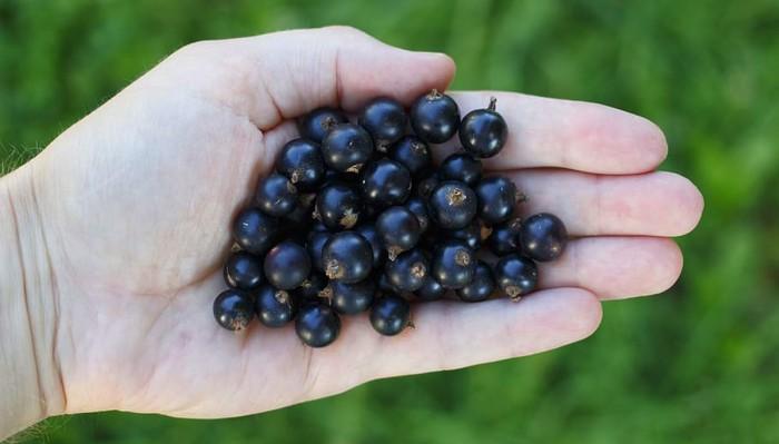 6 pozytywnych właściwości soku z czarnej porzeczki