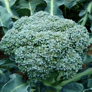 Brokuł ekologiczny Barwy Zdrowia