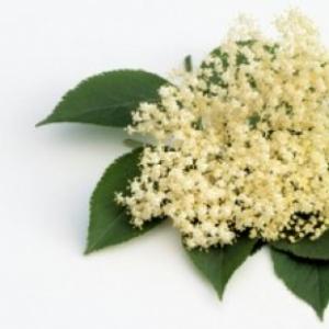 Kwiat czarnego bzu od p.Kuna