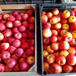 Jabłko jabłka ekologiczne Champion promocja  10 kg