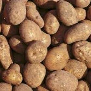 Ziemniaki   Lord Eko od p. Laska