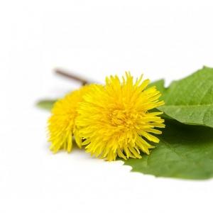 Suszony kwiat mniszka od p. Słoczyńskiej