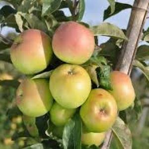 Jabłka witos EKO od p.Laska