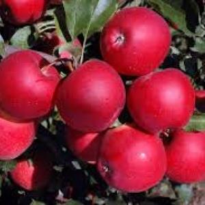 Jabłka Florina EKO od p. Laska