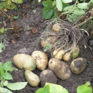 Ziemniaki Lord od Kłósek