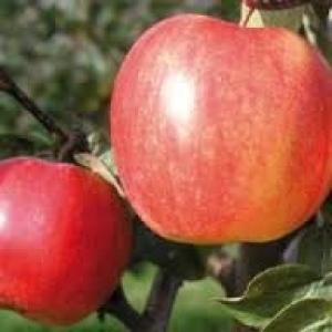 Jabłka EKO od p. Laska