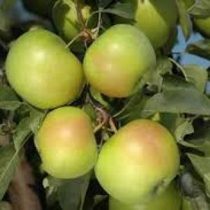 Jabłka Goldstar EKO od p. Laska