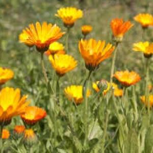 Kwiat nagietka od p. Laska