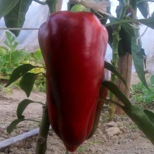 Papryka czerwona EKO od Adamczyka