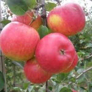 Jabłka na sok EKO od p. Laska