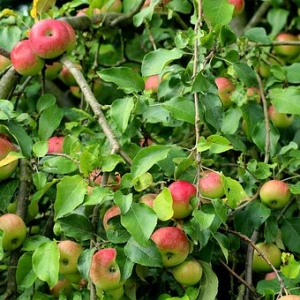 jabłko jabłka czerwone, słodkie  od Kłósek