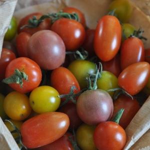 Pomidor koktajlowy od p. Gromba