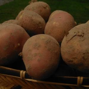 Ziemniaki Michalina młode 10kg  EKO od p. Adamczyka