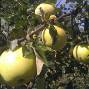 Jabłka Antonówka EKO od Adamczyka