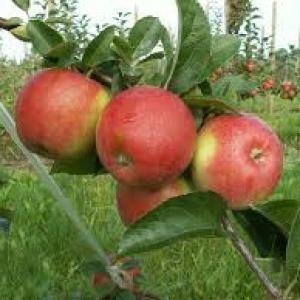 Jabłka Rajka (słodkie)  EKO od p. Laska
