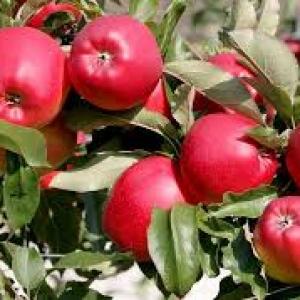 Jabłka Rajka EKO od p. Laska