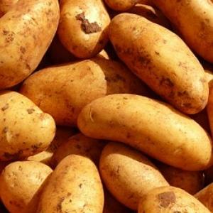 Ziemniaki eko żółte od p. Słoczyńskiej