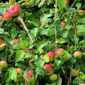 jabłko jabłka Linda  od Kłósek
